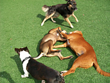 Dog Day Afternoon on FieldTurf Fake Grass. Clean and hypo-allergenic artificial lawn for residential and commercial applications.