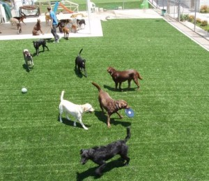 Dog Boarding Facility with FieldTurf Synthetic Turf. Now real grass has some real competition.