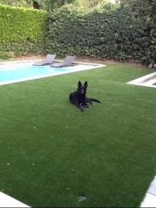 Residential FieldTurf grass for pets. Durable, clean and always beautiful. Virtually no maintenance too.